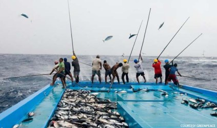 Fishermen use pole and line fishing method to catch skipjack tun
