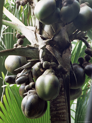 bruno-barbier-close-up-of-coco-de-mer-vallee-de-mai-national-park-island-of-praslin-seychelles