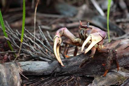 mangrove crab photo bluepeacemaldives.org